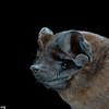 A Bonda mastiff bat (Molossus bondae) in Panama.