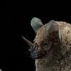 A silky short-tailed bat (Carollia brevicauda) in Panama.