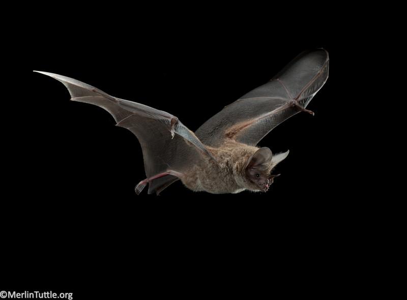 A frog-eating or fringe-lipped bat (Trachops cirrhosus) in Panama. Flight