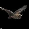 A frog-eating or fringe-lipped bat (Trachops cirrhosus) in Panama.