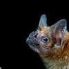 A common vampire bat (Desmodus rotundus) in Panama.