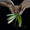 A frog-eating or fringe-lipped bat (Trachops cirrhosus) carrying a freshly caught katydid in Panama.