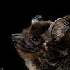 A greater sac-winged bat (Saccopteryx bilineata) in Panama.