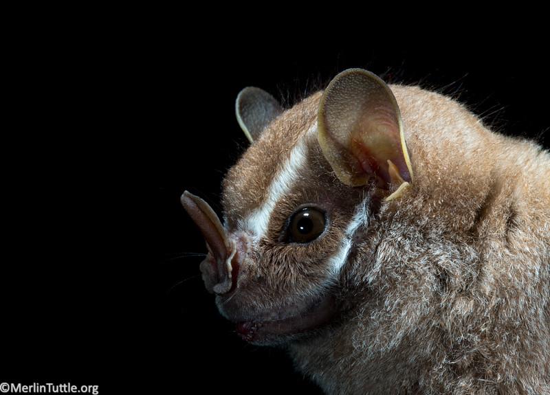 A Salvin's big-eyed bat (Chiroderma salvini) in Panama. Portraits