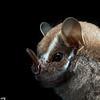 A Salvin's big-eyed bat (Chiroderma salvini) in Panama.