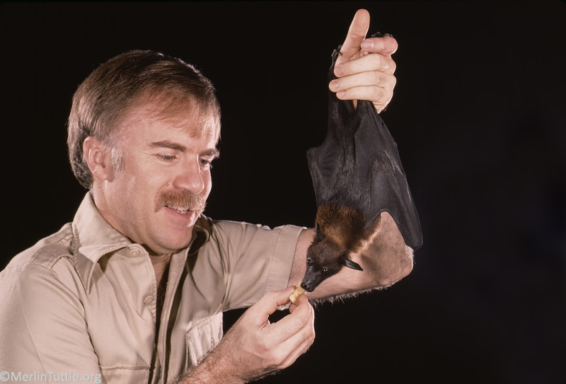 Merlin Tuttle feeding a tamed Indian flying fox (Pteropus giganteus) from India in 1984.