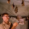 Merlin Tuttle training Minor epauletted fruit bat (Epomophorus labiatus minor) to come to his hand on call in Kenya.