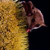 Common blossom bat (Syconycteris australis) pollinating swamp banksia (banksia robur) in Brisbane, Australia.