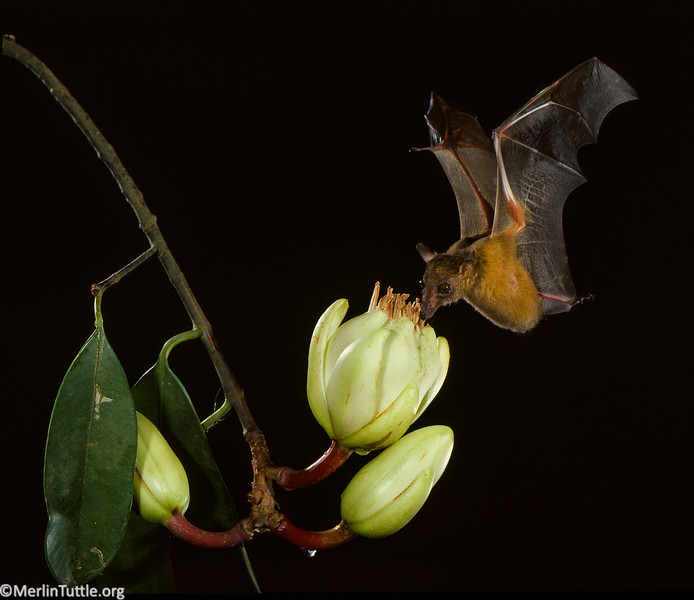 A Woermann's bat (Megaloglossus woermanni) pollinating an African butter and tallow tree (Pentadesma butyracea) in Ivory Coast. Bats are important pollinators throughout the world's tropical and subtropical regions. Pollination