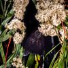 Black flying fox (Pteropus alecto) pollinating a Bailey's stringybark (Eucalyptus baileyana) in Brisbane, Australia.