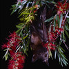 little red flying fox, Pteropus scapulatus