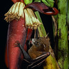 Greater short-nosed fruit bat (Cynopterus sphinx) pollinating wild banana in Thailand. All commercial bananas come from wild, bat-pollinated ancestors in Southeast Asia. Pollination