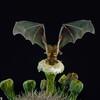 A lesser long-nosed bat (Leptonycteris yerbabuenae) pollinating saguaro cactus (Carnegiea gigantea) in Mexico. Pollination