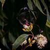 Black flying fox (Pteropus alecto) pollinating needlebark stringybark (Eucalyptus planchoniana) in Brisband, Australia.
