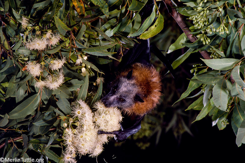 A Gray-headed flying fox (Pteropus poliocephalus) is pollinating a pink bloodwood (Eucalyptus intermedia) in Australia. These bats are essential pollinators and seed dispersers for many of Australia's most ecologically and economically important trees. Pollination