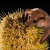 common blossom bat, Syconycteris australis