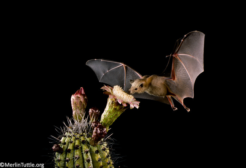 A Lesser long-nosed bat (Leptonycteris yerbabuenae) pollinating organ pipe cactus in the Sonoran Desert of northwestern Mexico. Pollination