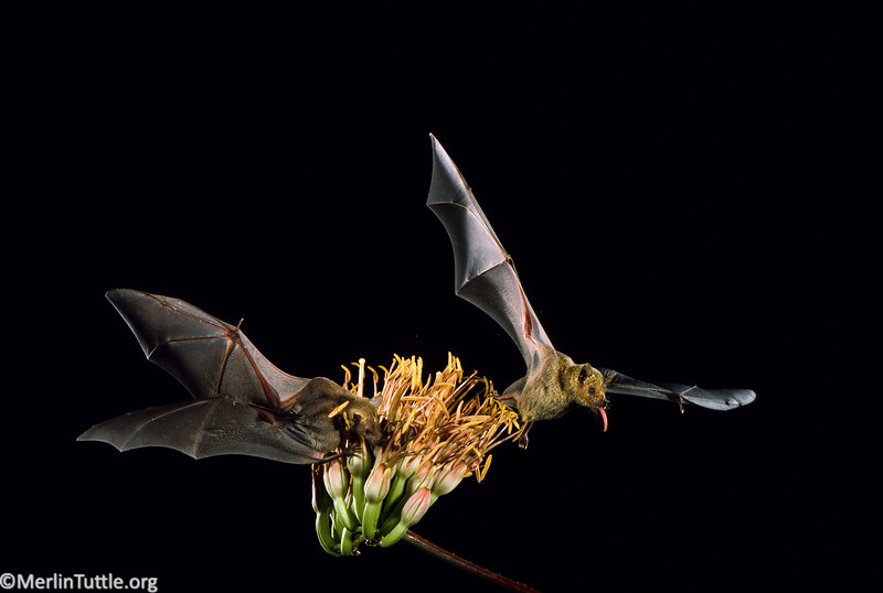 lesser long-nosed bat, Leptonycteris yerbabuenae