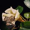 Jamaican fruit-eating bat (Artibeus jamaicensis) pollinating balsa wood flower in Panama. Pollination