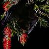 Black flying fox (Pteropus alecto) pollinating weeping bottlebrush (Melaleuca viminalis) in Australia.