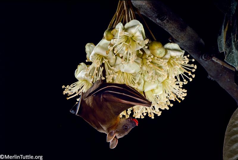 Horsfield's fruit bat, Cynopterus horsfiedii
