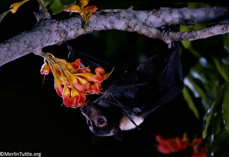 A spectacled flying fox (Pteropus conspicillatus) pollinating a black bean tree (Castinoperum australis), a prized timber tree in Australia. Pollination
