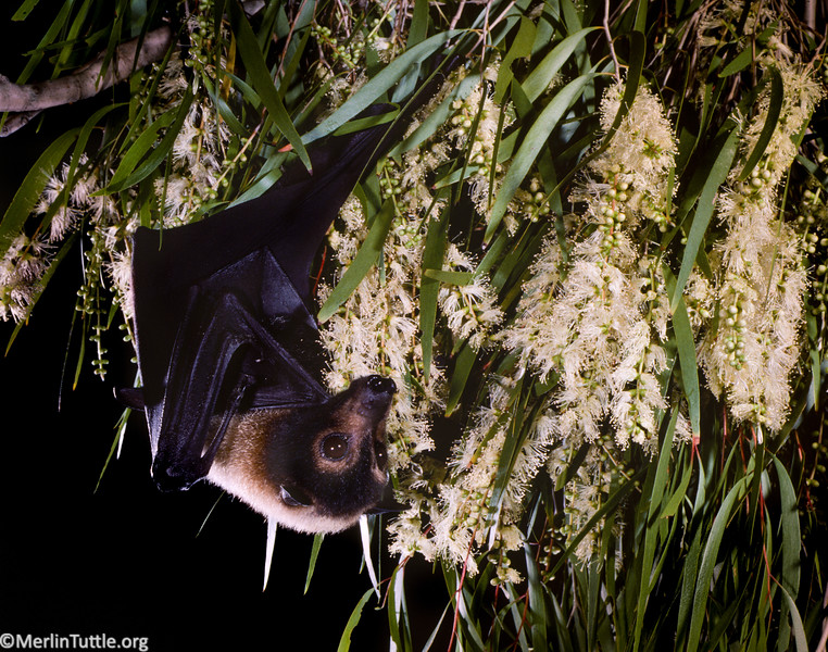 spectacled flying fox, Pteropus conspicillatus