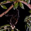Black flying fox (Pteropus alecto) pollinating brush box (Lophostemon confertus) in Brisbane, Australia.