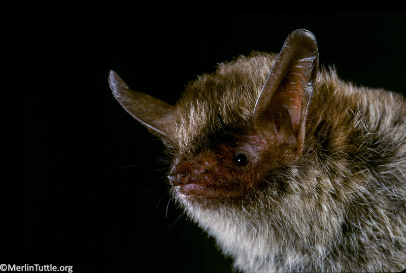 A northern long-eared myotis (Myotis septentrionalis) from Tennessee. Portraits