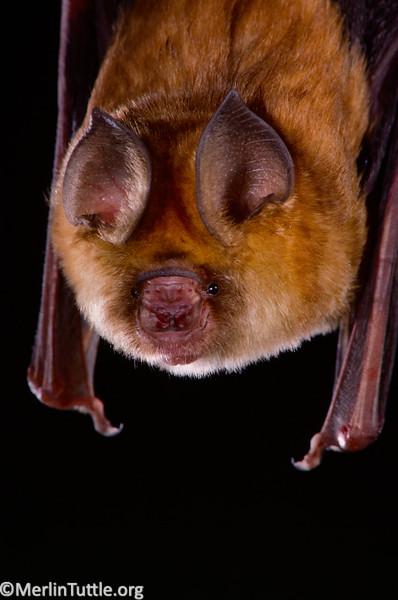 A Noack's roundleaf bat (Hipposideros ruber)
