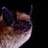 Arizona myotis (Myotis occultus) from Arizona. Portraits