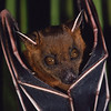 lesser short-nosed fruit bat, Cynopterus brachyotis