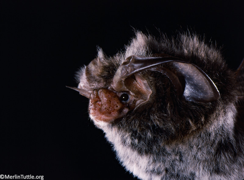A Rafinesque's big-eared bat (Corynorhinus rafinesquii) in Tennessee. The white belly fur is diagnostic. Portraits, Diagnostics