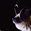 Long-eared myotis (Myotis evotis) from Ariziona. Portraits