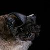 Little free-tailed bat (Chaerephon pumilus)