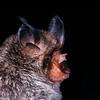 big eared horseshoe bat, Rhinolophus macrotis