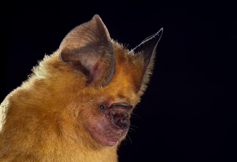 Aba roundleaf bat (Hipposideros abae)