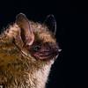 tricolored bat (Perimyotis subflavus)