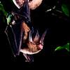 Tomes's sword-nosed bat (Lonchorhina aurita) in Panama.