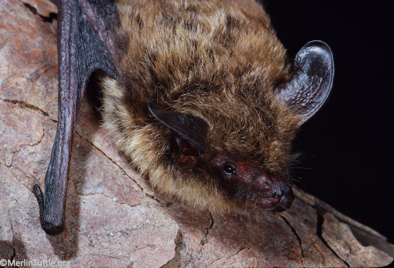 Northern long-eared myotis (Myotis septentrionalis) from Tennessee. Portraits