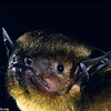 A greenish yellow bat (Scotophilus viridis) from South Africa. Portrait