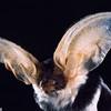 A spotted bat (Euderma maculatum) in Utah. Portraits