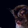 dusky leaf-nosed bat, Hipposideros ater