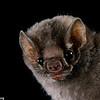 A hairy-legged vampire bat (Diphylla ecaudata) in Mexico. Portraits