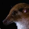 long-tongued nectar bat, Macroglossus minimus