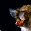 clear-winged wooly bat, Kerivoula pellucida