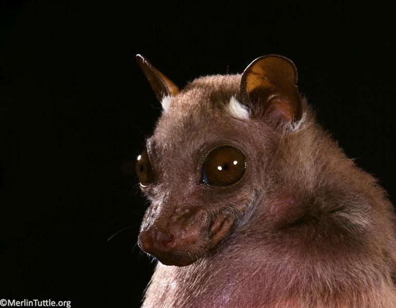 Peter's Dwarf Epauletted Fruit Bat (Micropteropus pusillus)