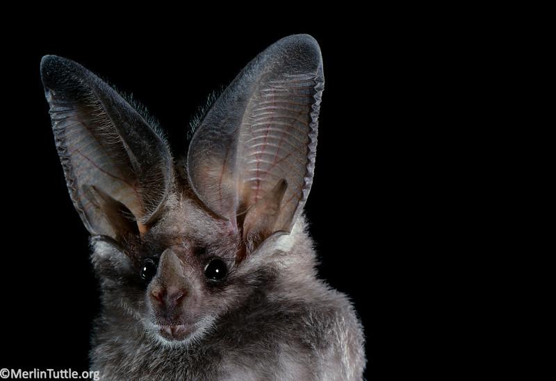 A California leaf-nosed bat (Macrotus californicus) in Mexico. Portraits