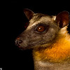 Portrait of a straw-colored fruit bat (Eidolon helvum) in Kenya.