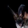 Common slit-faced bat (Nycteris thebaica)